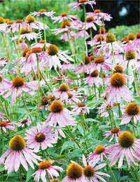 Echinacea Health Supplements Respiratory