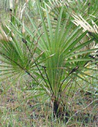 Saw Palmetto Supplement Prostate